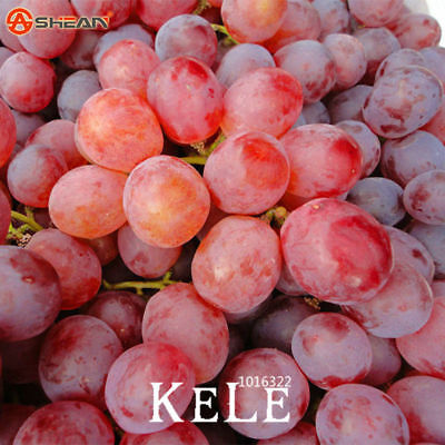 Fruit Natural Red Seeds Sweet Advanced Seed Grape Growth 100 PCSLot