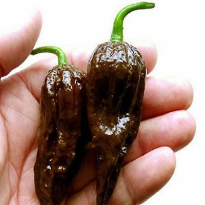 Ghost Chilli Chocolate Pepper Seeds, Jolokia Naga 200 Seeds Pack,