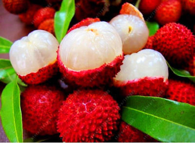 Plants Succulent Litchi Lychee Fruit Particles Seeds, Lychy Leechee Tree Seed 10