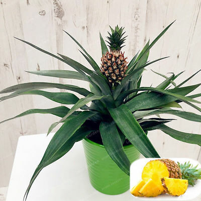 Pineapple Delicious Exotic Potted Seeds Rare Bonsai Juicy Fruit 100 Pcs Seeds