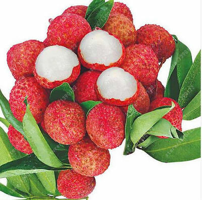 Fruit Home Outdoor Tree Lychee Seeds Gardening Litchi 10pcs Seeds