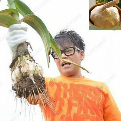 Vegetable Giant Garlic Pure Organic Healthy Natural Seeds 100pcs Rare Seeds