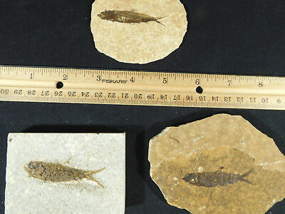Lot of THREE! Small 50 Million Year Old Restored Fossil Fish From Wyoming 274gr