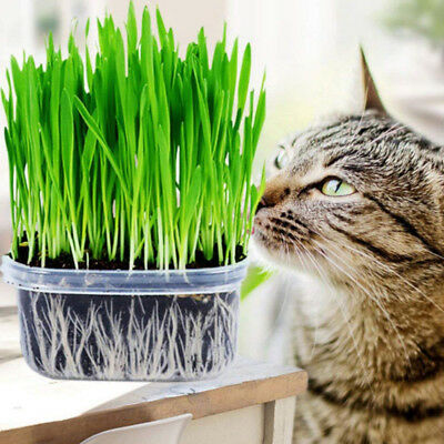 150g Organic Sweet Oat Cat Grass Seeds Kitten Grain Juicing Sprouting Digestion