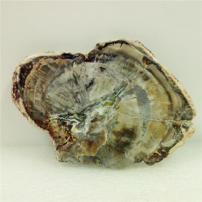 "4.5""167g PETRIFIED WOOD FOSSIL AGATE Slice Crystal Display Madagascar H446"