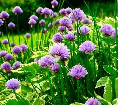 Chive- Herb- 200 Seeds- BOGO 50% off SALE