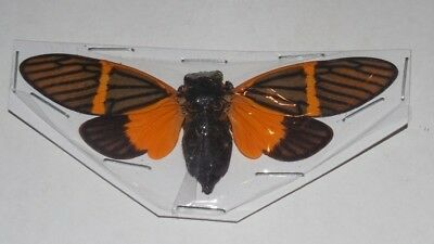 Khuanalna Electra Cicada Real Insect Thailand Taxidermy