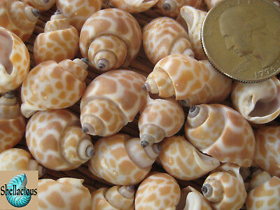 """35+ Baby Babylonia Sea Shells 1-1/8"""" & Under 1/2Cup - Craft/Small Hermit Crabs"""