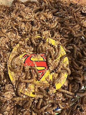 LIVE SUPER WORMS 50 COUNT 1 to 2 Inch   Active and Gut Loaded(FREE SHIPPING)
