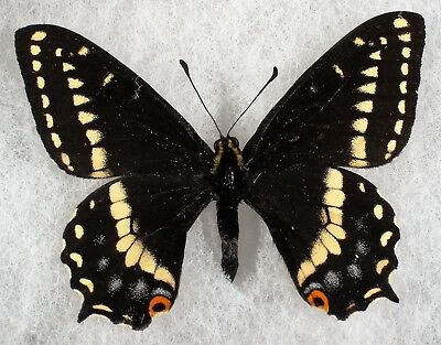 """Insect/Butterfly/ Papilio indra shastensis - Male 2.5"""""""