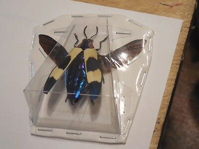 Beautiful Chrysochroa Buqueti Spread Wings Beetle Real Insect Taxidermy