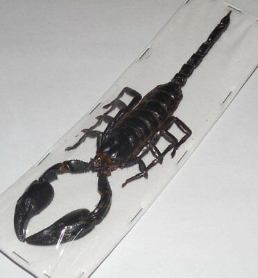 "Large Over 6"" Heterometrus Laoticus Giant Scorpion Real Insect Taxidermy"