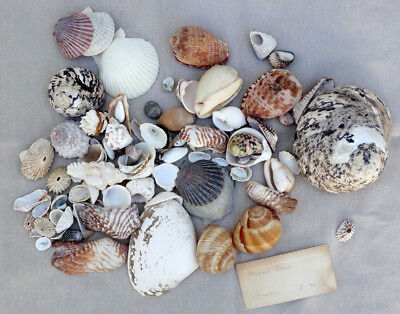 HUGE LOT! Vintage ESTATE SALE Beach Shell SEASHELL & SEA URCHIN Collection Lot