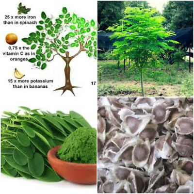 Moringa Oleifera Fresh Organic Seeds Miracle Herb Tree Plant Health Benefit Seed