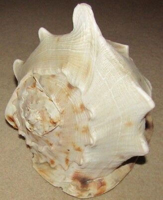 Impressive Large Conch Sea Shell - Approximately 9 Inches Long x 7.5 Inches Tall