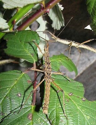 50 Vietnamese Prickly Stick Insect Ova / Eggs - Neohirasea maerens