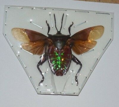 Rare Eurostus Sp. 01 Real Insect  Taxidermy