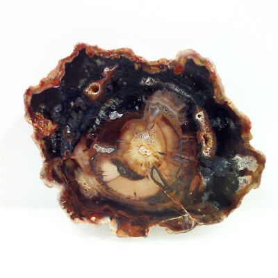 "3.9""184g Beautiful PETRIFIED WOOD FOSSIL AGATE Slice Display Madagascar Y1108"