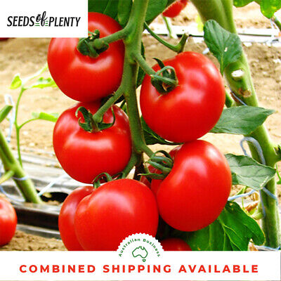 TOMATO - Prosperity (80 Seeds) HEIRLOOM Heavy yielder
