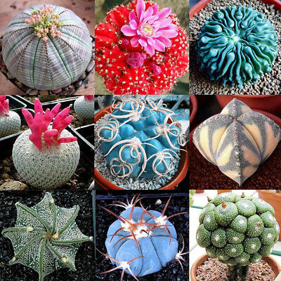 100Pcs Rare Mixed Succulent Cactus Seeds Prickly Pear Organic Home Plants CA