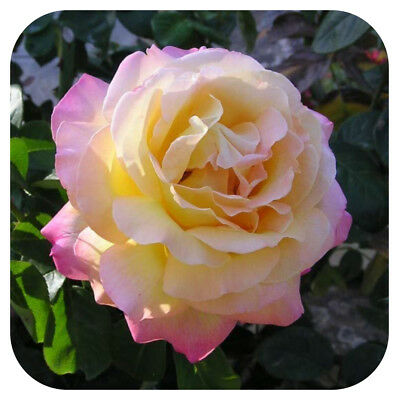 Hybrid Tea Rose Bare Root Plant  'Peace' Scented Yellow / pink