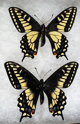"""Insect/Butterfly/ P. zelicaon gothica & P. zelicaon nitra - Males 2 3/4"""""""