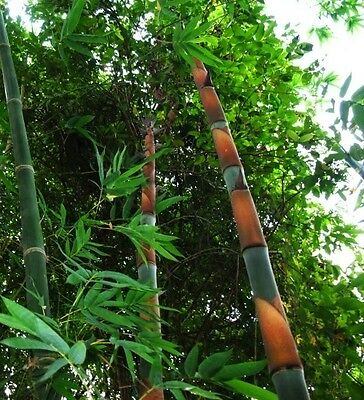Dendrocalamus grandis (Giant Asian Bamboo) 10 Fresh seeds - Exceptionally RARE