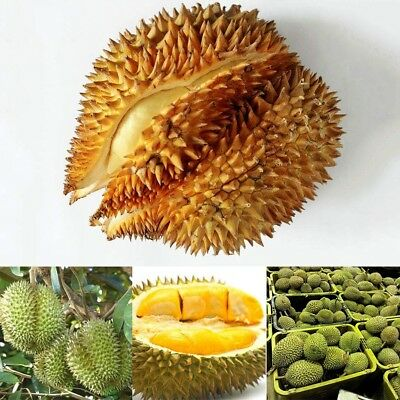 5Pcs Durian Seeds Tree Seed Giant Fruit Outdoor Plants Delicious Fruits Plant