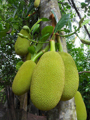 Artocarpus Heterophyllus * Jackfruit * Exotic World Largest Fruit * 3 Seeds *