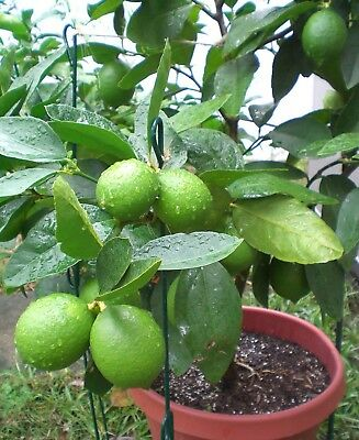 10 pc Kaffir Lime Tree Seeds Garden Plant Bonsai Seed Potted Plant Home Orchard