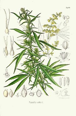 SELL RESTORED VINTAGE CANNABIS / MARIJUANA PRINTS -12x High Res. Images DOWNLOAD