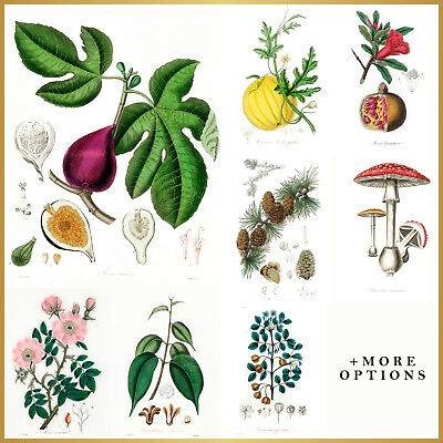 VINTAGE ART PRINTS: Botanical Plants, Flower, Fruit A4 A3 A2 A1 Wall Art Posters