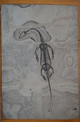 HUGE KEICHOUSAURUS FOSSIL,  Plate Size: 285mm X 195mm Fossil Length:260mm