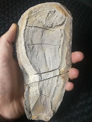 17cm !! big!!RARE Million Year  Old BIG fish fossil  Madagascar, Triassic j62