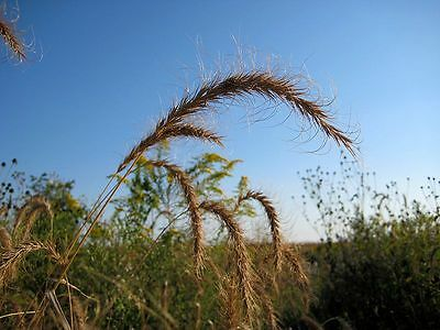 500 CANADIAN RYE Elymus Canadensis Grain Grazing Grass Ground Cover Seeds + Gift