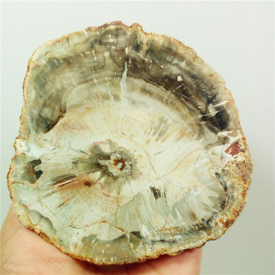 "4.3""243g Marvelous PETRIFIED WOOD FOSSIL AGATE Slice Display Madagascar Y1155"