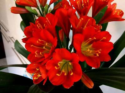 2 x LIPSTICK BRONZE X MOONLIGHT BRONZE CLIVIA SEEDLINGS