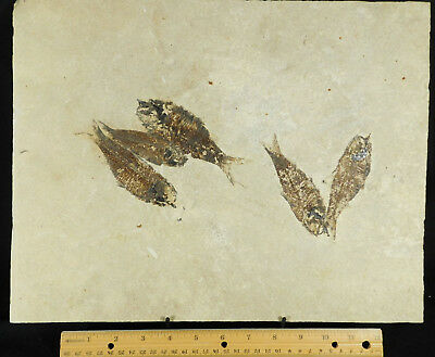 FIVE!! 100% Natural 50 Million Year Old Fish Fossils on Huge Matrix! 2935gr e