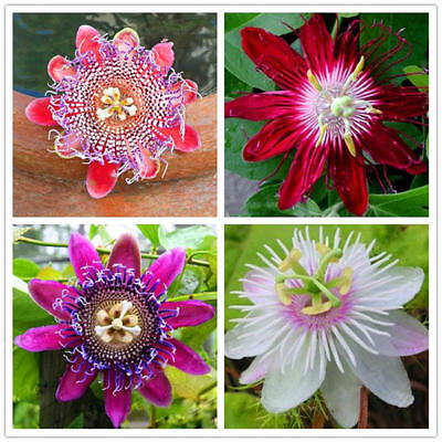 100x Passion Flower Seeds Garden Rare Passiflora Incarnata Fruit Plants Seeds