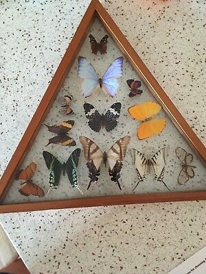 12 Mixed BUTTERFLY (S) RARE Triangular FRAME DISPLAY MOUNTED INSECT COLLECTIBLE