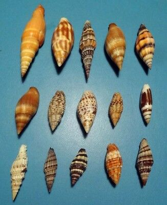 Sea Shell -  Coquillages - Mitridae - Collection De 15 Mitres Différentes
