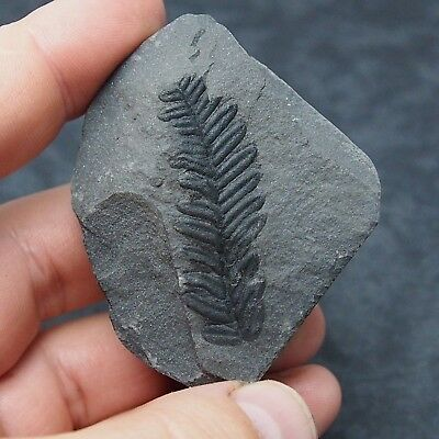 Fossils Plant Pecopteris polymorpha Carboniferous Fosilies France
