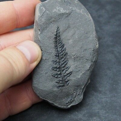 Fossils Plant Dicksonites plueckenetii Carboniferous Fosilies France