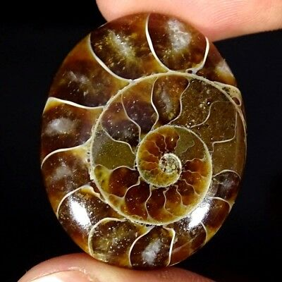 32.30Cts 100% Natural Ammonite Fossil Oval Cabochon Loose Gemstone