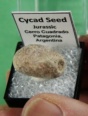 Fossil Cycad Seed – Argentina