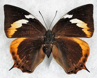 """Insect/Butterfly/ Anaea cyanea silvaorum - Female 3"""""""