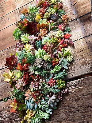 Succulents - Colourful Cuttings x10 Bundle