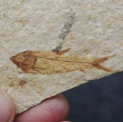 Fossil Fish Knightia eocaena Eocene priod Fossilized Fossilien Wioming USA