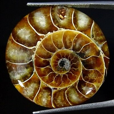 32.90Cts 100% Natural Ammonite Fossil Round Cabochon Loose Gemstone