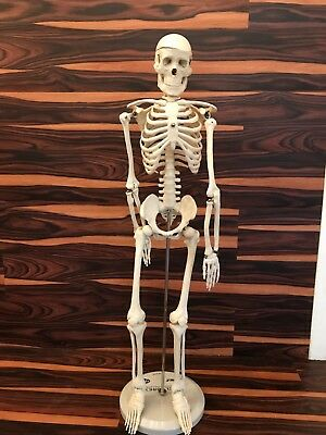 """33"""" Posable Demonstration  Model Skeleton with Stand Halloween Decoration +Stand"""